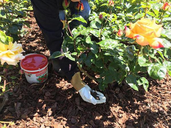 Нужно ли подкармливать розы осенью