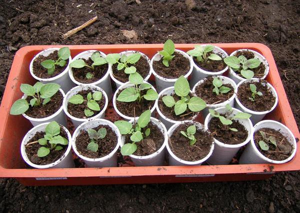 Зачем выращивать картофель из семян?