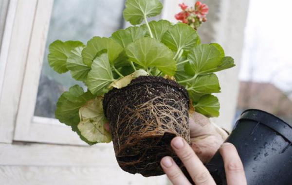 Своевременно пересаживать цветок по мере его роста
