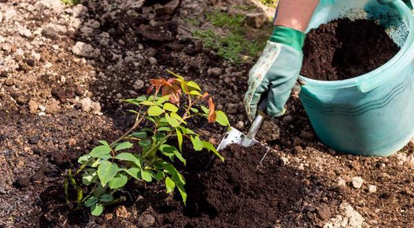 Чем подкормить розы весной после посадки и нужно ли