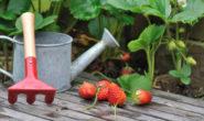 Чем подкормить клубнику летом. Йод, дрожжи, зола, перегной и др.