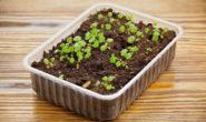 Выращивание клубники из семян. Посев, уход, советы садоводов