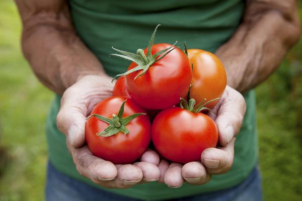 Какие сорта помидоров рекомендуется выращивать в теплицах