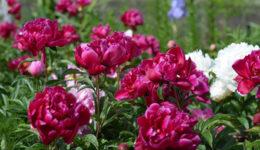 Чем подкормить пионы в течение сезона, чтобы были крупные цветы
