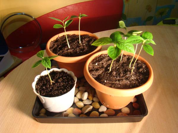Выращивание дерева хурмы из косточки пошагово