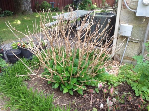Нужно ли подкармливать гортензию весной?