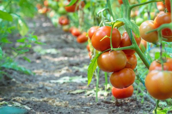 Какие сорта помидоров рекомендуется выращивать в Подмосковье в открытом грунте