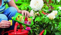 Чем подкормить розы осенью. Перед укрытием, после посадки