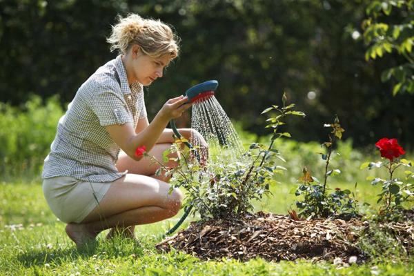 Чем подкормить розы для роста и пышного цветения в саду