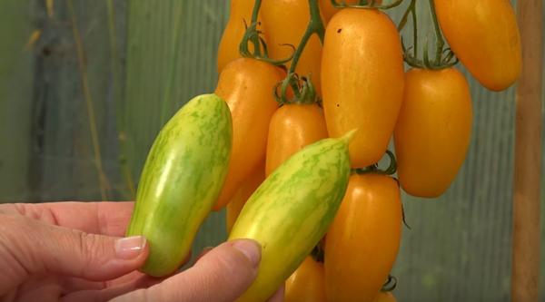 Сорта томатов для засолки