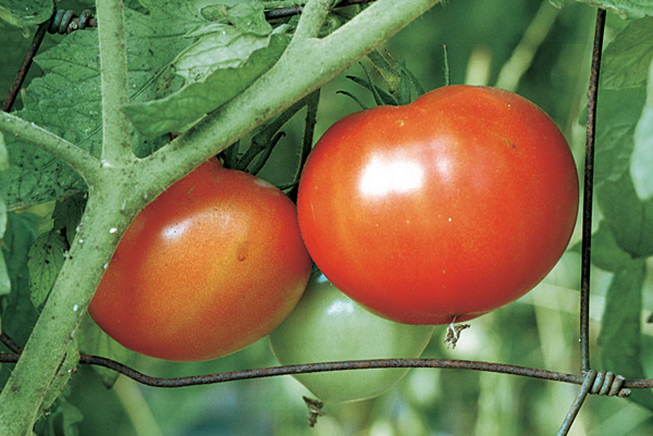 Сорта устойчивые к фитофторе