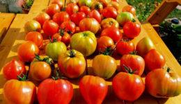 Лучшие сорта томатов для Подмосковья для открытого грунта