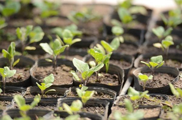 Какие нужны условия для выращивания баклажанов дома
