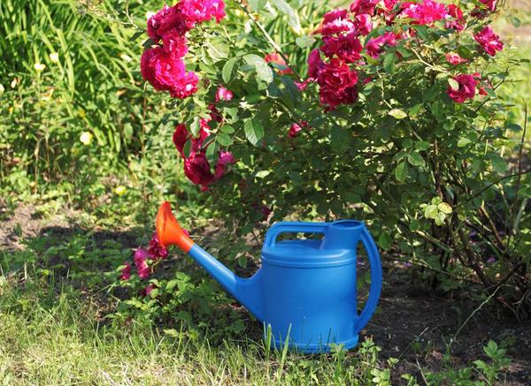 Нужно ли подкармливать розы весной