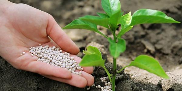 Ошибки в выращивании культуры, влияющие на массовое опадание цветков и завязей