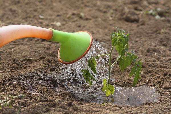 Благоприятные и неблагоприятные дни для работ по уходу за томатами