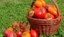 Лучшие сорта томатов на 2019 год. Для теплиц, открытого грунта
