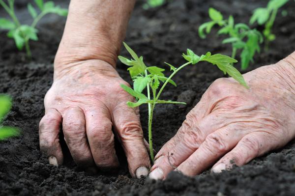 Благоприятные дни для высадки рассады помидоров в открытый грунт или теплицу
