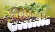 Как вырастить рассаду баклажан в домашних условиях