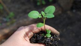 Как вырастить картофель из семян в домашних условиях. Уход