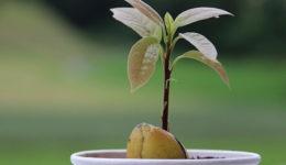 Как вырастить авокадо из косточки пошагово. Уход за растением