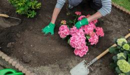 Чем подкормить гортензию весной после зимы. Когда подкармливать