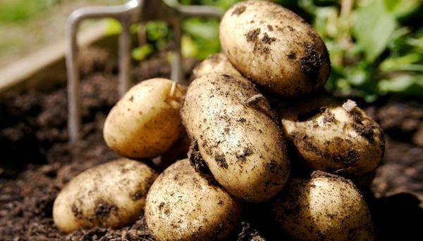 Что такое элита и суперэлита картофеля