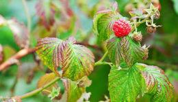 Болезни и вредители малины - описание с фотографиями и способами лечения