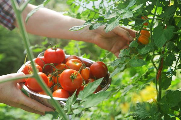 Сорта томатов устойчивые к болезни