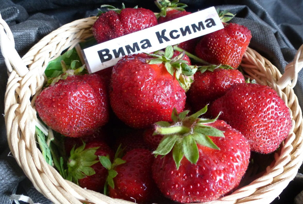 Вима Ксима