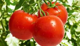 Лучшие сорта томатов для Урала с фото и описанием
