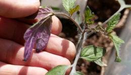 Почему рассада помидор фиолетовая и плохо растет. Что делать