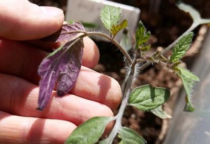 Почему у рассады помидор фиолетовые листья снизу