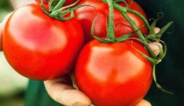 Лучшие сорта томатов для засолки и консервирования с фото