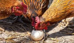 Почему куры клюют свои яйца, что делать