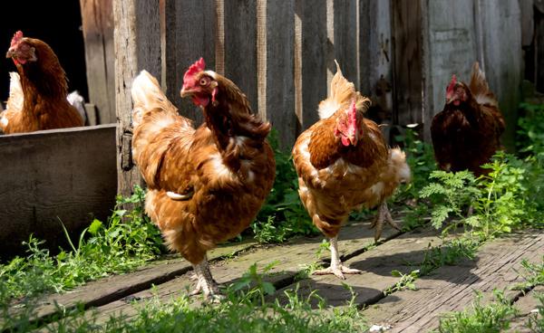 Сколько лет живут курицы несушки в домашних условиях