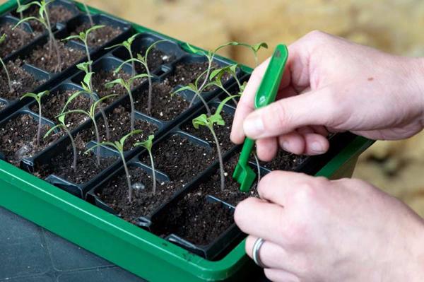 Что делать, как помочь помидорам