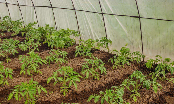 Как уберечь рассаду помидоров от весенних заморозков