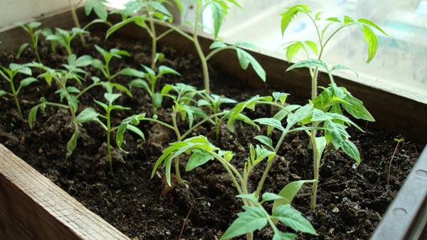 Значение правильного грунта для выращивания рассады