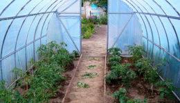 Как защитить помидоры в теплице от перегрева