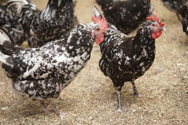 Австралорп черно-пестрый