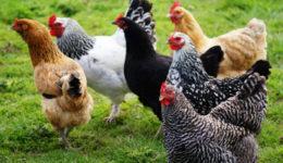 Породы кур мясо-яичного направления для разведения в домашних условиях