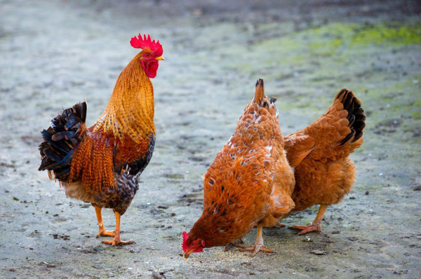 Почему выгодно разводить кур мясояичных пород