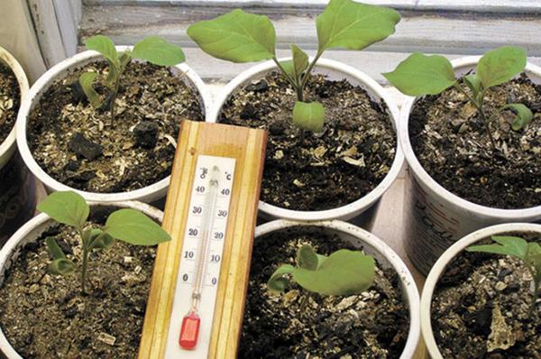 Температурный режим для выращивания баклажанов