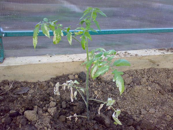 Признаки перегрева томатов