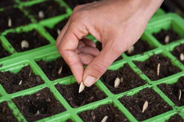 Как посадить тыкву на рассаду в домашних условиях