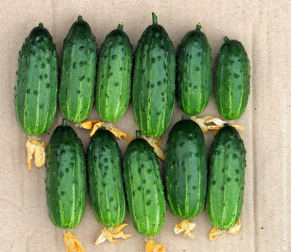 Самоопыляемые сорта огурцов для выращивания на грядках