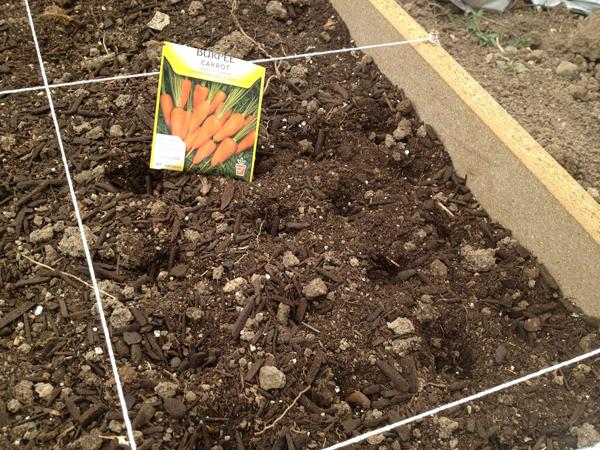 Как посеять морковь весной правильно