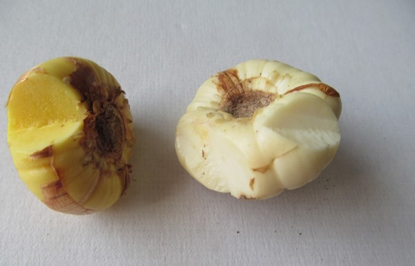 Как правильно подготовить луковицы к посадке