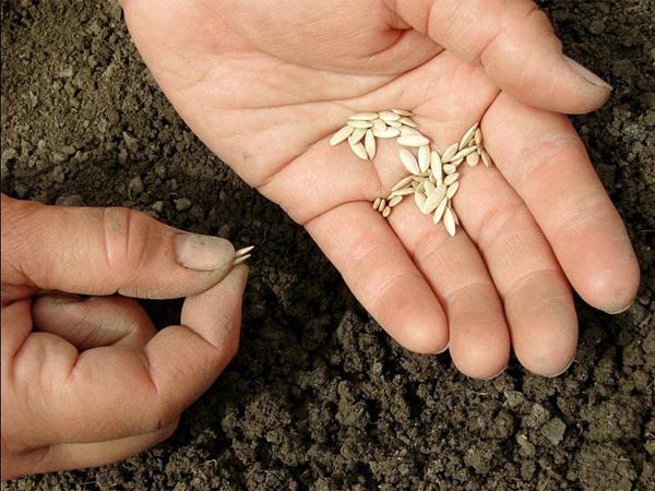 Когда сеять огурцы в открытый грунт, сроки